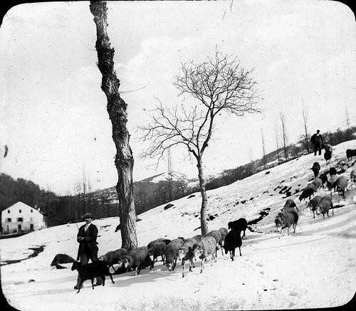 Troupeau de brebis en hiver, Luchon [environs]