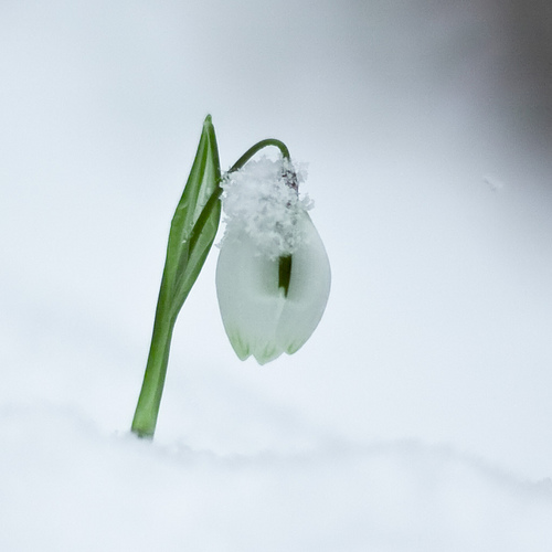 One little snowdrop